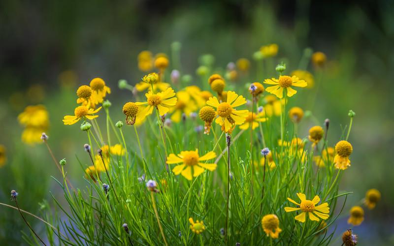 Wild Yellows
