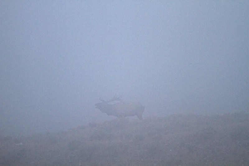 Elk bugling in fog Yellowstone N.P. WY IMG_0068804.jpg