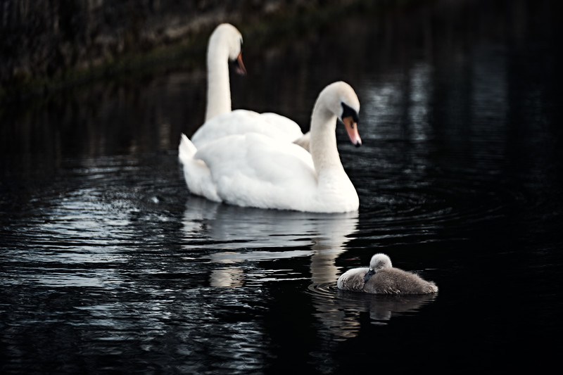 Swans_Of_Castletown020.jpg