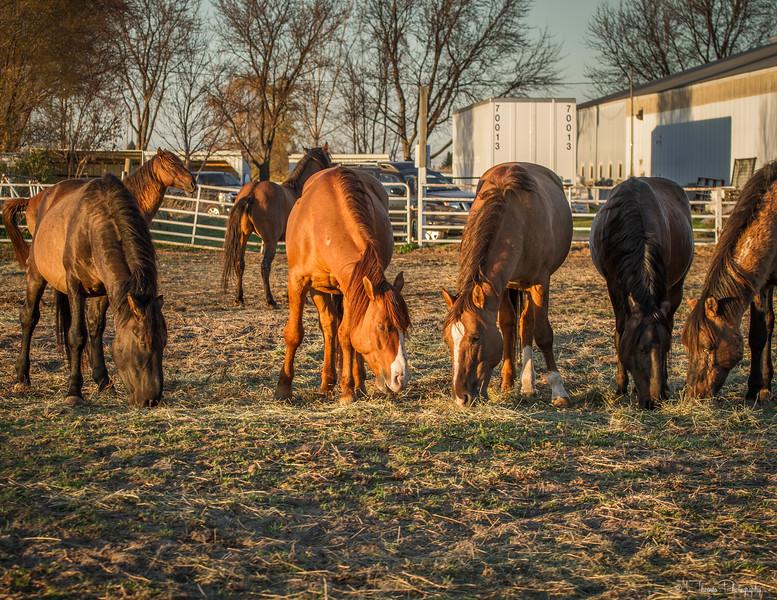 Mustang Horses from ISPMB South Dakota