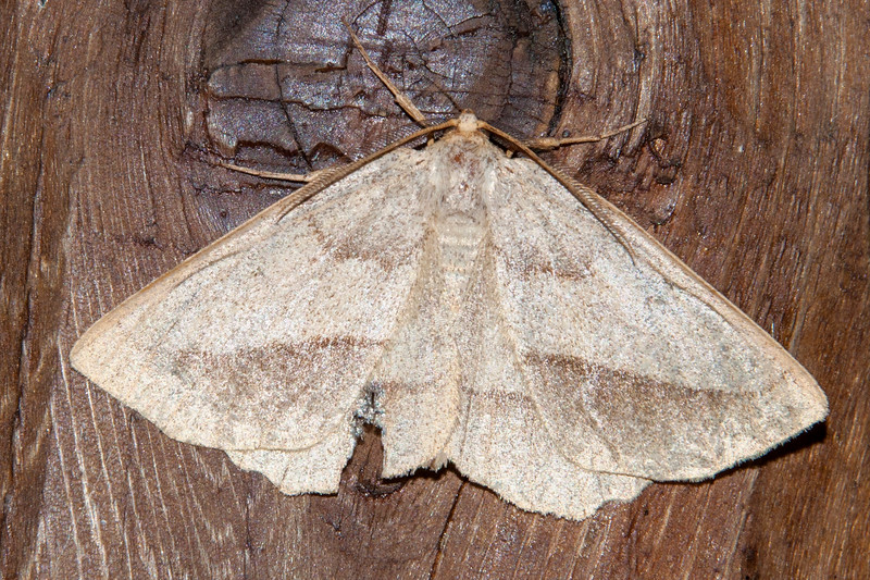 Euchlaena-Least-marked-(Euchlaena irraria)- Dunning Lake - Itasca County, MN