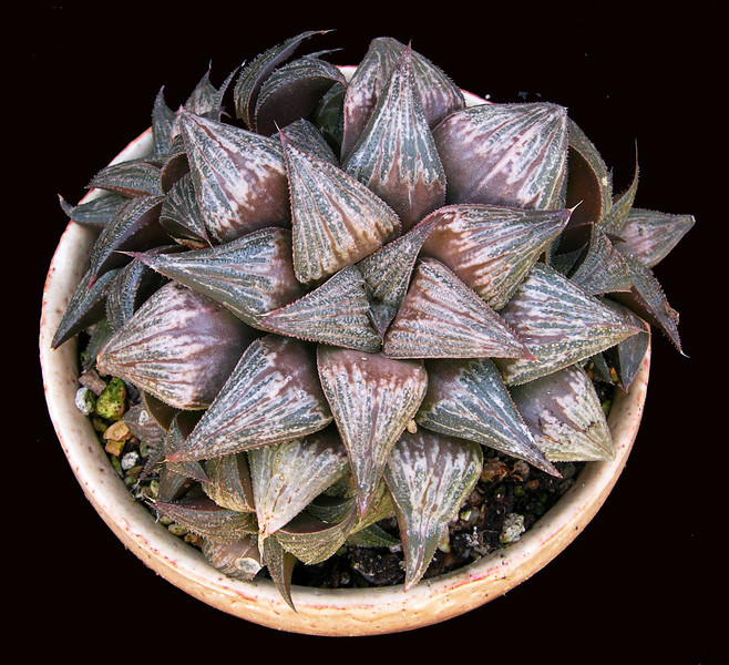 Haworthia Bev's Wonder'