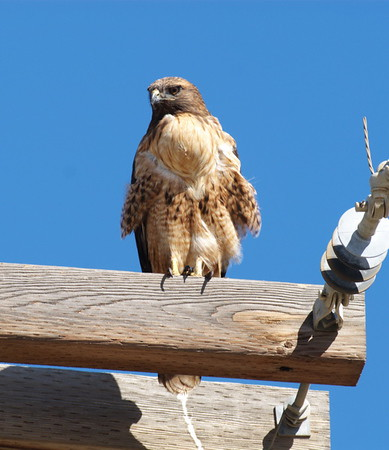 Red-tailed Hawk (Western form)