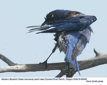 Western Bluebird M89485.jpg