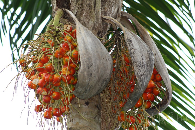 Pejibaye palm seeds