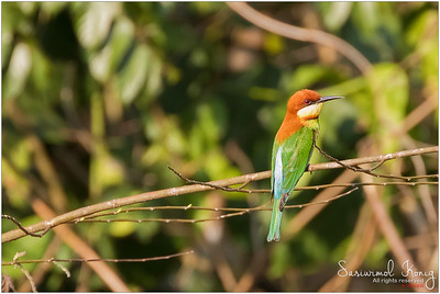 Thailand - Bee-eaters