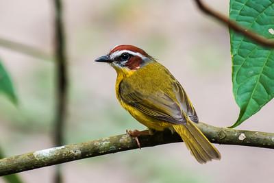 panama birds 2016