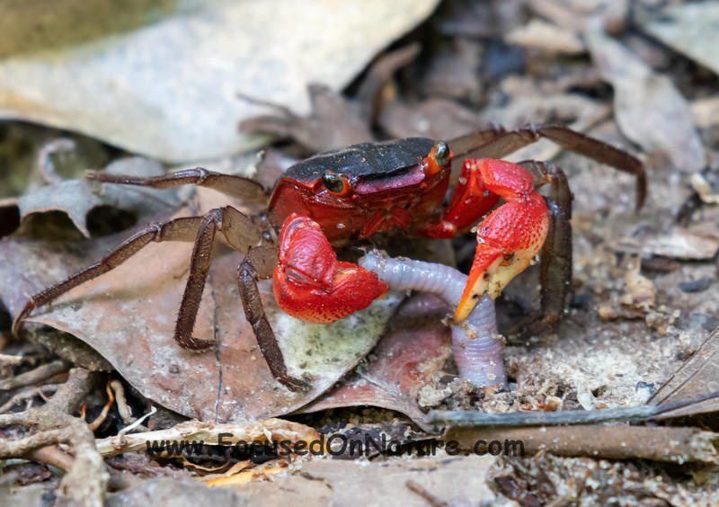 Crab Grabbing Lunch