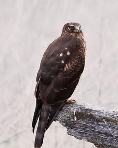 Northern Harriers / Marsh Hawks