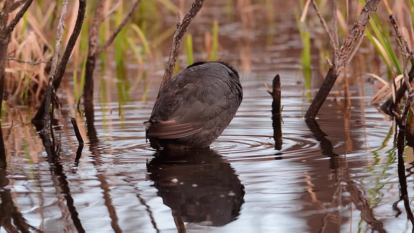 4-30-17 **Video - American Coot - Preening In Morning Sun