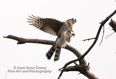 Hawks/Vultures