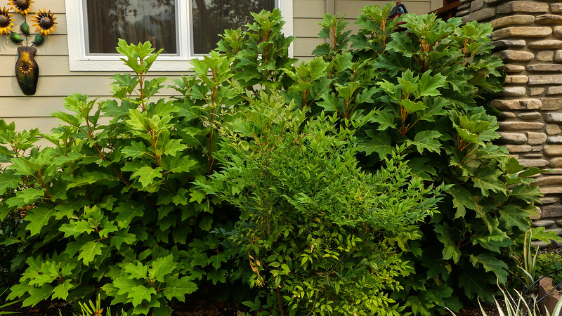 the oakleaf hydrangeas were cut back to just a couple of feet tall in the spring, and I hard pruned the heavenly bamboo to try to keep it in check