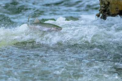Rainbow Trout Jumping the Slabtown Dam
