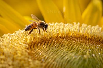 Sunflowers 2020