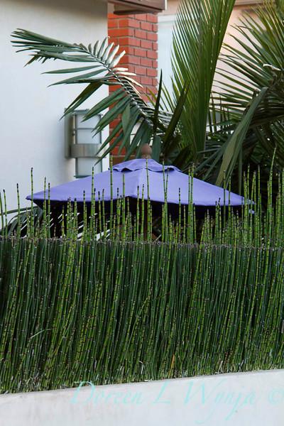 Equisetum hyemale_050.jpg