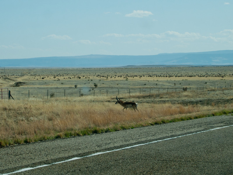 Pronghorn antelope grazing on the side of the road