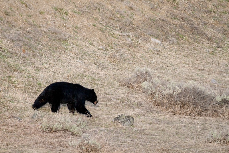 Black Bear Yellowstone National Park WY IMG_4947.jpg