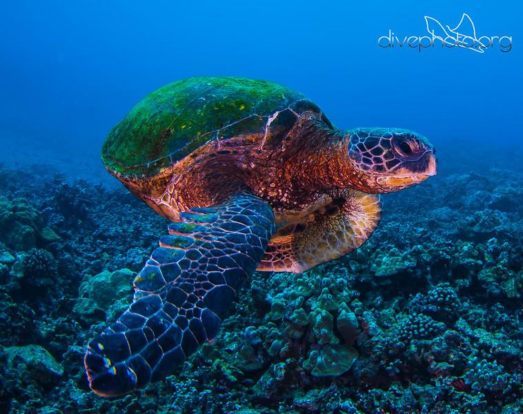 Green sea turtle off Hawaii