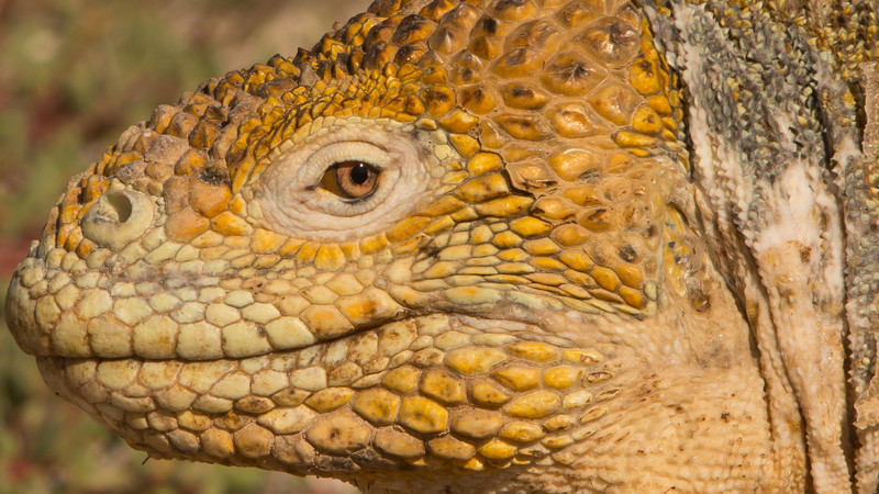 Land Iguana, Conolophus subcristatus. North Seymour Is. Galápagos.