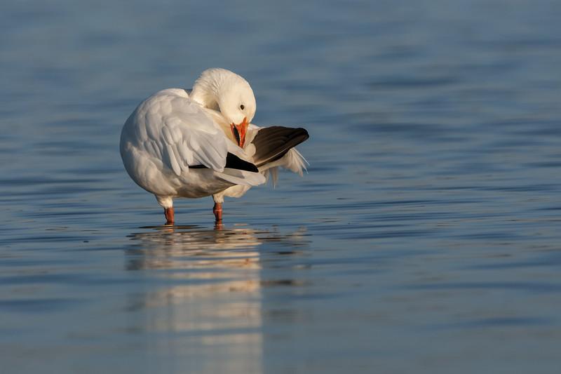 Snow Goose - Preening