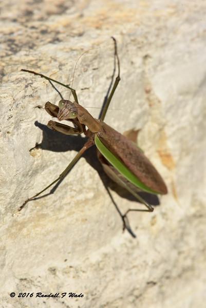 Dictyoptera