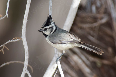 Titmouse, Bridled