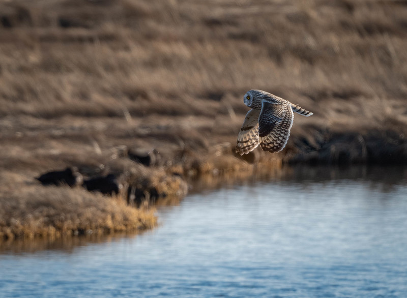 _5006690-Edit Short-eared Owl pond fly by.jpg
