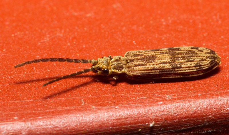 Reticulated beetle (Cupedidae: Tenomerga cinerea) from Iowa, USA.