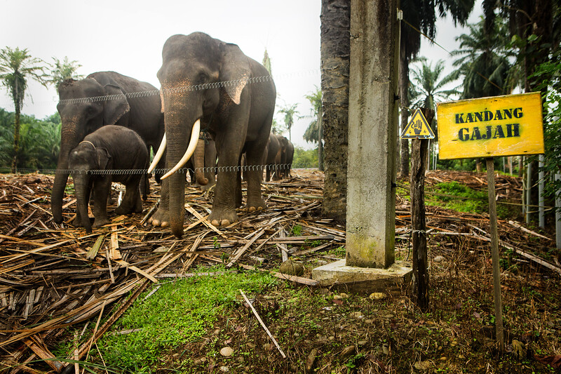 A family of Sumatran elephants stand behind an electric fence at a rescue and rehabilitation center in north Sumatra. Many of the elephants at this center were rescued from being labor animals or poaching victims, however, their current living situation is far from ideal as conservation resources and funding are practically non-existent in this remote region of Sumatra.