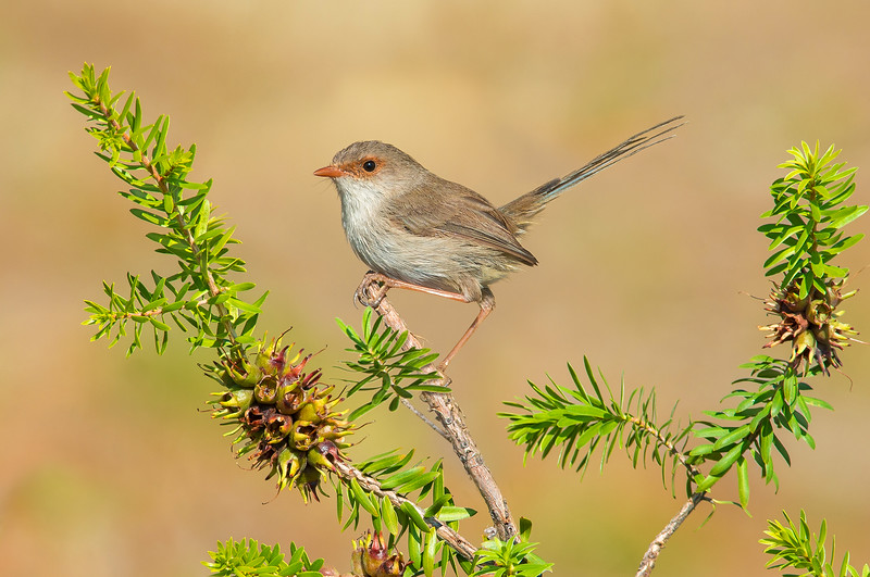 Superb Fairy Wren - Malurus cyaneus (f) (Warby Ranges, Vic)