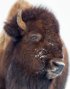 Yellowstone '15