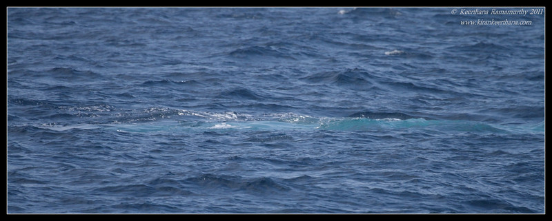 Blue Whale surfacing, Whale watching trip, San Diego County, California, July 2011