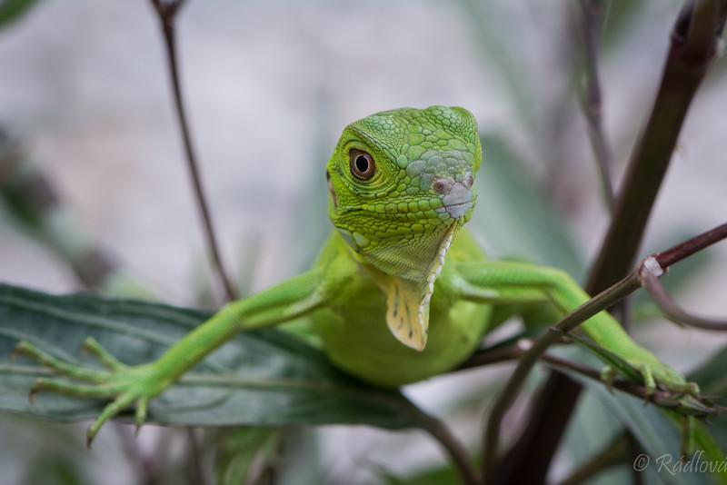 Juvenile Iguana Pushups (1 of 1).jpg