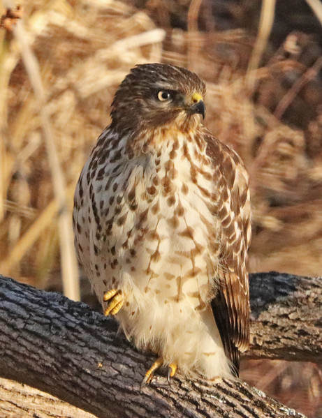 Red-tailed hawk 71