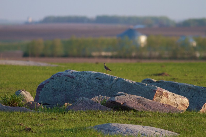 Upland Sandpiper Touch the Sky NWR prairie Rock Co MN IMG_0020.CR2.jpg