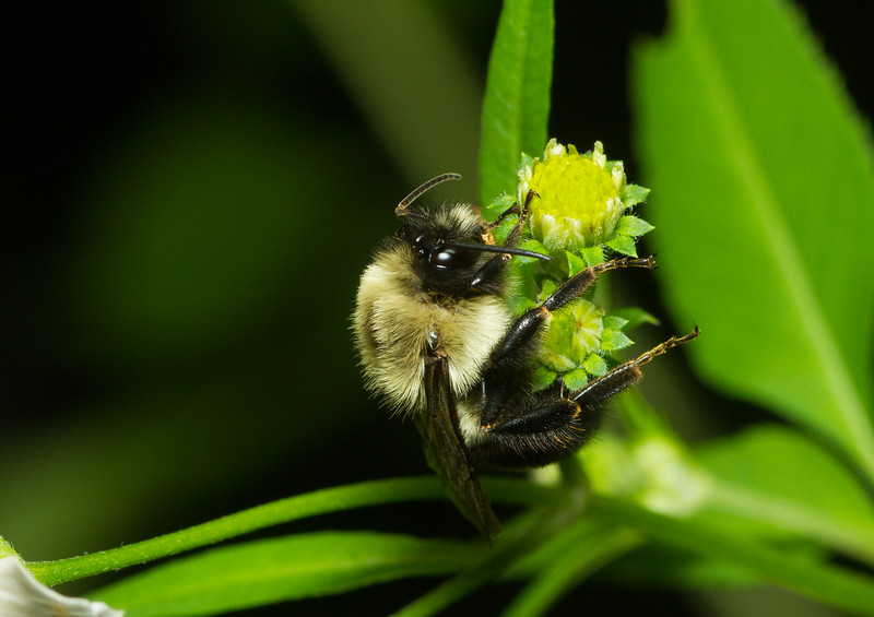 Bumblebee (Bombus sp.) from Florida.