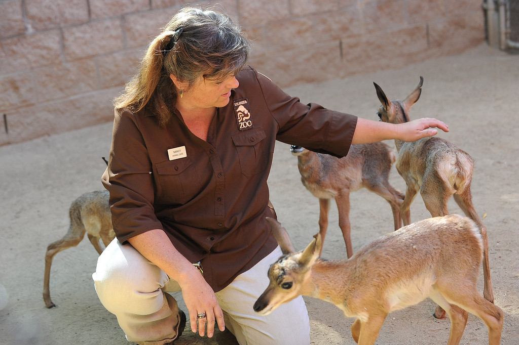 . Animal Keeper Nancy Thomas pets baby Penisular pronghorns at the Los Angeles Zoo Thursday, April 18. 2013.  Five new pronghorn babies were born between April 3-9, 2013.  The animals, who are native to Baja Mexico, are a critically endagered species.(Andy Holzman/Daily News Staff Photographer)(Andy Holzman/Staff Photographer)