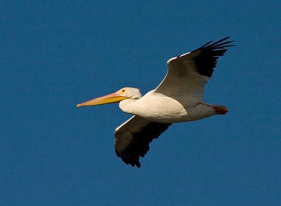 Pelicans, Gulls & Terns