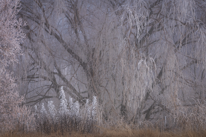 Hoar Frost and Grasses, New Zealand