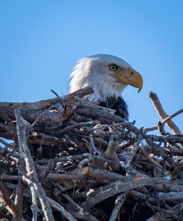 Bald Eagle Nest and Black Point Drive - January 24, 2021