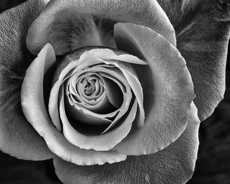 pink-rose-02.jpg