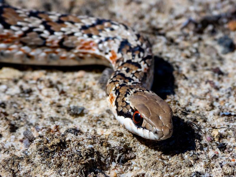 20191013 Spotted Skaapsteker (Psammophylax rhombeatus) from Milnerton, Western Cape
