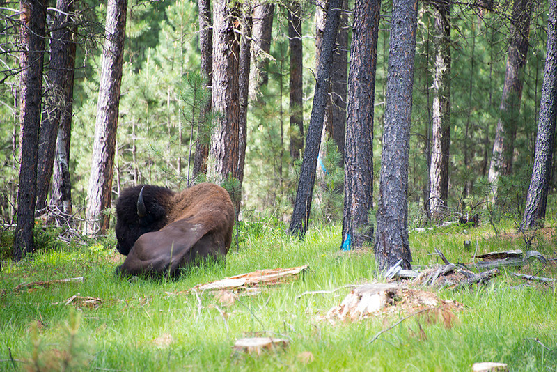 The first Bison of the trip