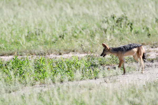 Jackals of Our Tanzania 2019