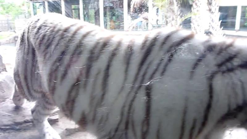 Tiger walking.mov