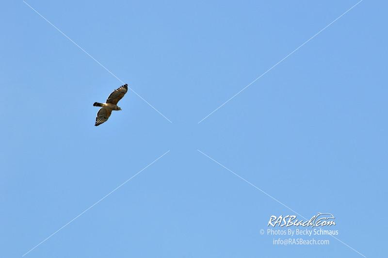 Red Shoulder Hawk in the Florida Everglades