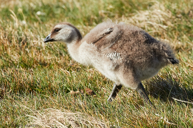 Upland Goose gosling