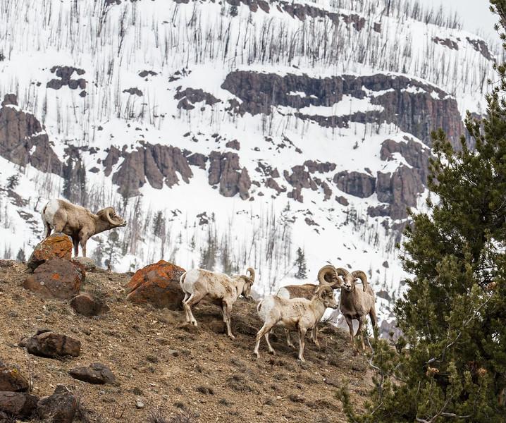 Bighorn rams bachelor herd near Soda Butte Yellowstone National Park WY IMG_6768.jpg