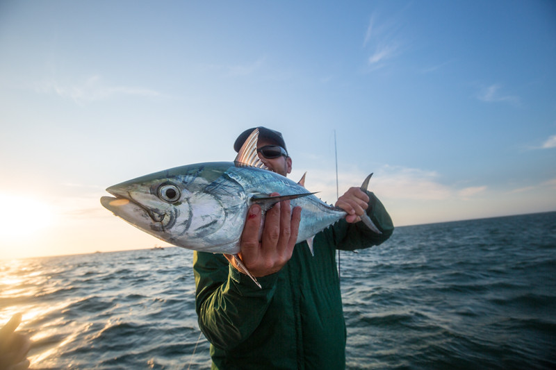 A poor fishbra with a sunrise false albacore. Chasing Martha's Vineyard False Albacore During the MV Derby
