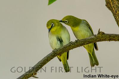 Indian White-eye, Ranthambhore, India